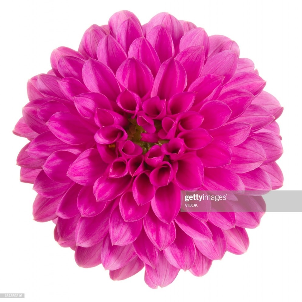 Top View Closeup Of Bright Pink Dahlia High-Res Stock Photo ...